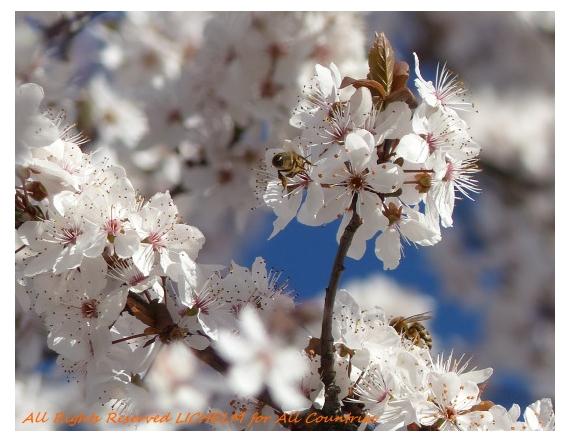 PHOTO FLEURS-BLANCHES WHITE-FLOWERS LICHELM PHOTO Fleurs  - FLEURS BLANCHES