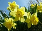 photo fleurs fleurs jaunes yellow flowers lichelm photos : FLEURS JAUNES
