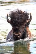 photo animaux tatanka buffalo bison d ameriqu american buffalo : Tatanka