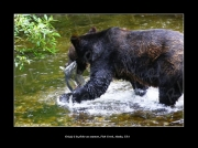 photo animaux grizzly ours alaska saumon : Grizzly à la pêche au saumon