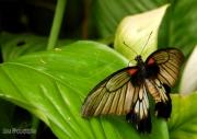 photo animaux nature papillon insecte feuille : Papillon