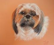 dessin animaux shihtzu portrait de chien : Jade