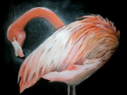 tableau animaux : Flamand rose