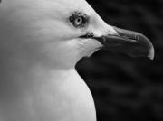 photo animaux belle ile en mer goeland oiseau mer : Goél and ...
