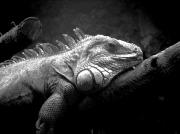 photo animaux iguane lezard tropique saurien : Iguana