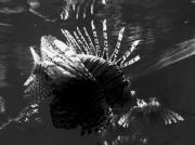 photo animaux rascasse poisson aquarium mer : Aqua rium ...