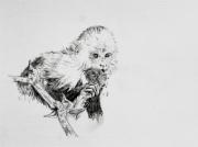dessin animaux capucin singe animal foret : Capucin