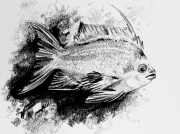 dessin animaux poisson aquatique eau noiretblanc : Barbier Rouge