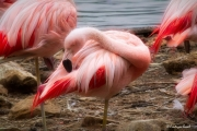 photo animaux flamant rose plume douceur : Rose c'est rose !