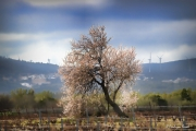 photo paysages arbre amandier nature paysage : Printemps.