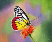 tableau animaux : papillon Delias hyparete