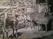 tableau animaux chevres du rove : noir et blanc