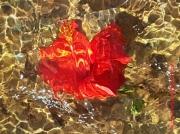 art numerique fleurs hibiscus eau : Hibiscus