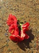 photo fleurs hibiscus fleurs : Hibiscus
