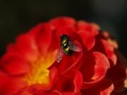 photo fleurs mouche dahlia fleur macro : mouche sur dahlia