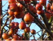 photo fruits baies fruits hiver : fruits d'hiver