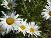 photo fleurs marguerites : marguerites