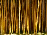 photo : forêt de bambou avec un