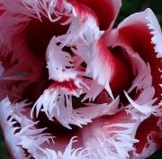 photo fleurs : tulipe à franges blanches