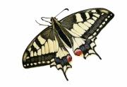 tableau : Papillon