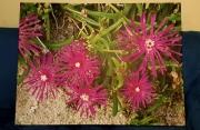 photo fleurs fleurs jardin paysage nature : Griffes de sorcière