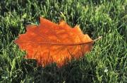 photo autres automne nature feuille : Feuille d'automne