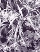 photo fleurs noir et blanc feuillage tachete : chardons marie