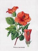 tableau fleurs illustration hibiscus botanique dessinateur : Hibiscus rosa sinensis aqua