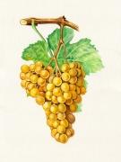 tableau fruits raisin botanique illustration grappe : Raisin Terret blanc