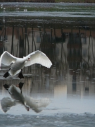 photo animaux cygne atterrissage glace hiver : Cygne Atterrissage sur Glace
