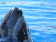 photo animaux dauphin amour tendresse : Valse des Dauphins